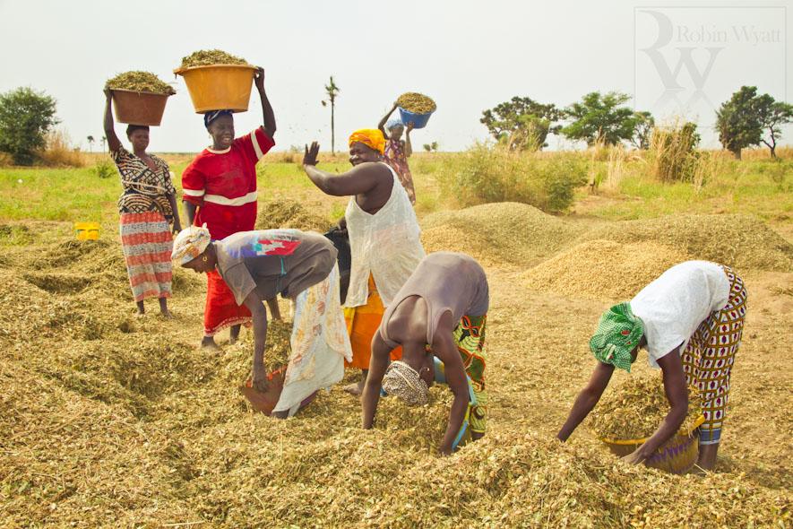 Au Sénégal, Atteinte des objectifs d'autosuffisance en riz en 2017