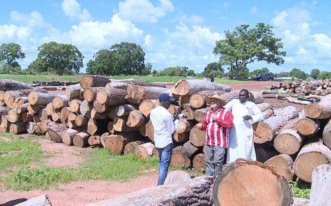 Trafic de bois en Casamance-senegal