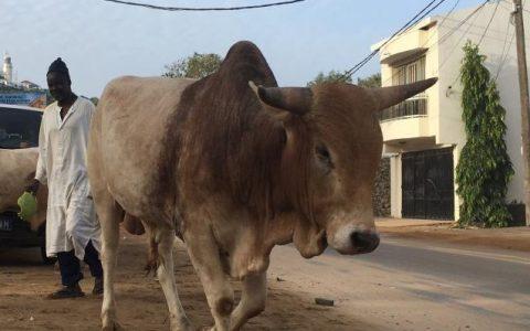 Tailleur vole un taureau pour payer sa dette de 40 mille francs